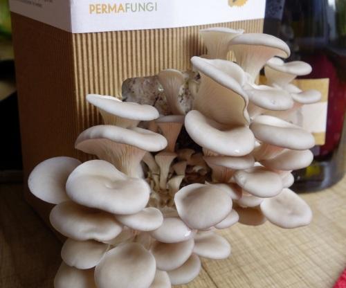 Small oyster mushrooms